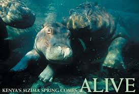 Mzima hippos