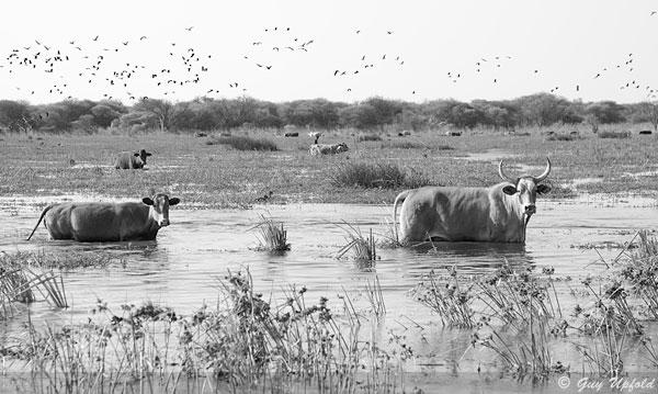 ngami-cattle-guy_upfold