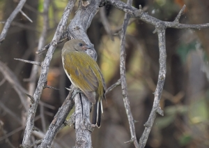 Lesser Honeyguide_001