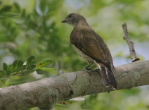 Scaly-throated_Honeyguide_3