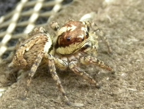 Sand Forest Spider big