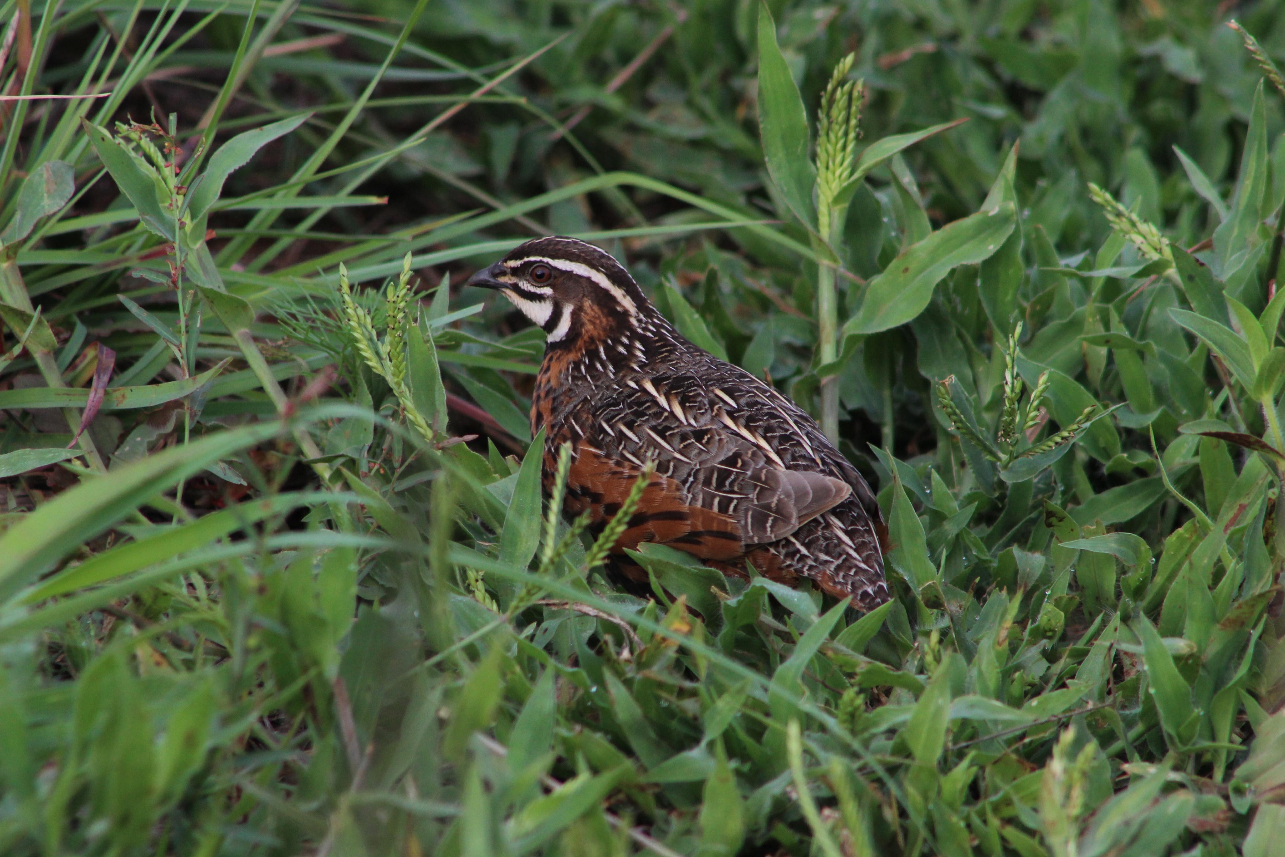 Harlequin quail.jpg