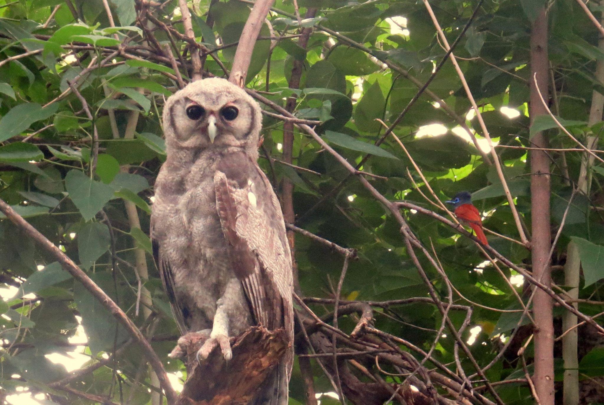 Maun Owl.jpg