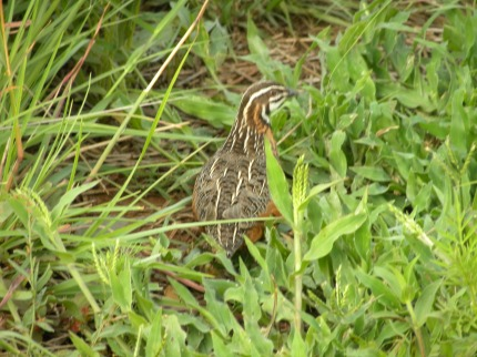 Even better than lions, we saw a harlequin quail! Beaut!