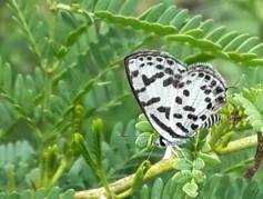 nambiti-70-butterfly-001
