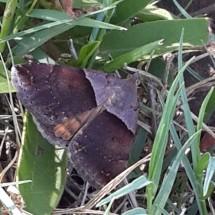 nambiti-81-moth