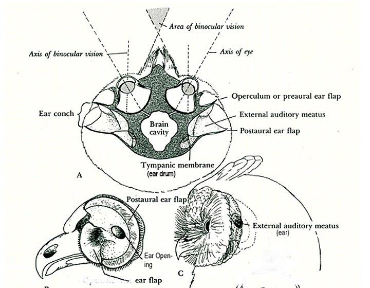 owl-brain