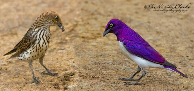 violet-backed-starling