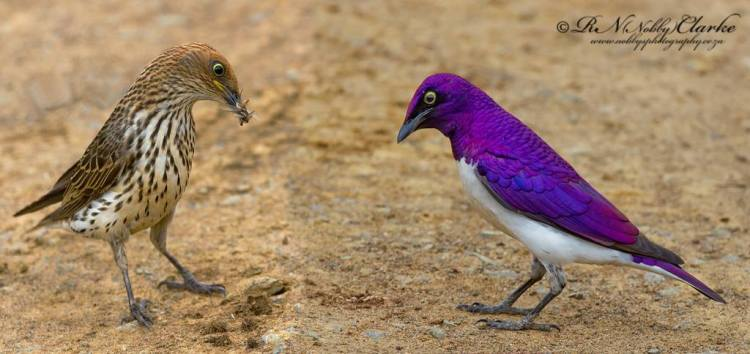 violet-backed-starling
