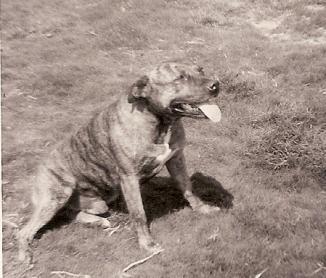 Jock the staffie. Special hound