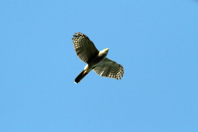 African Goshawk flying