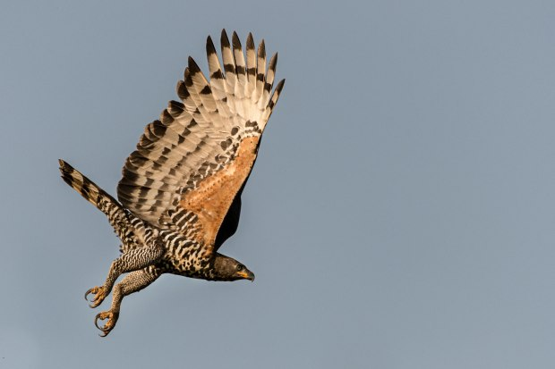 Crowned Eagle flying
