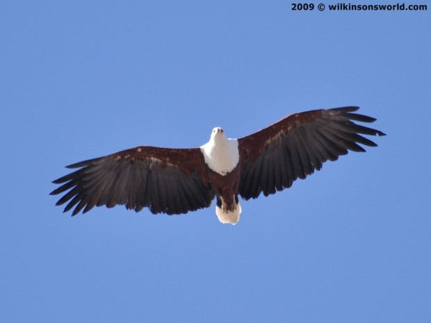 Fish Eagle flying