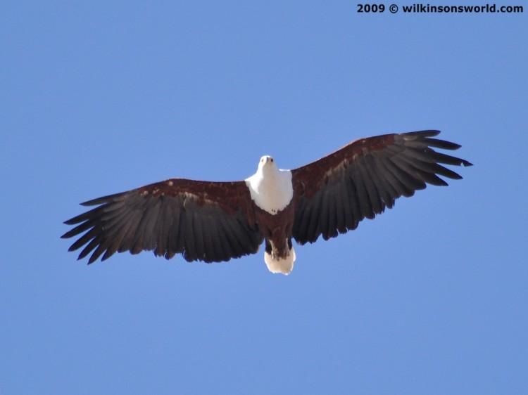 Fish Eagle flying