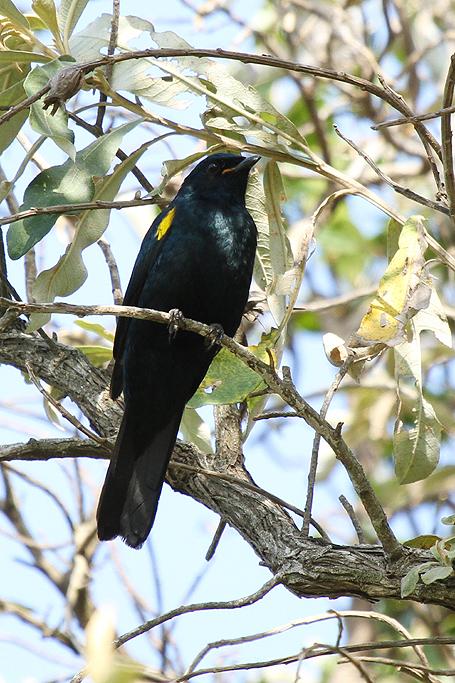 Black-Cuckoo-shrike