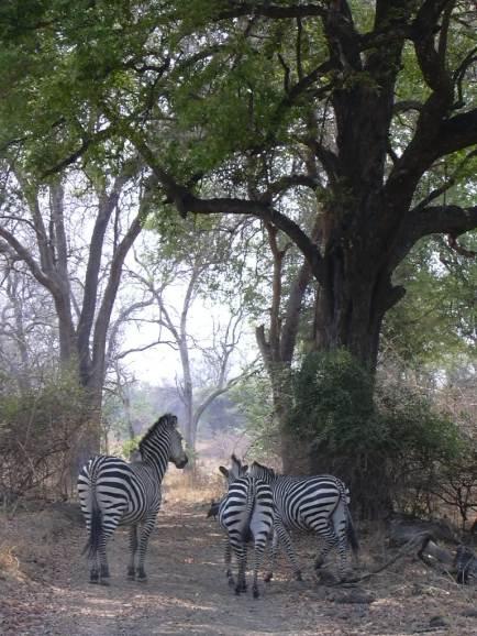 OK, I'll say it: Zebra Crossing
