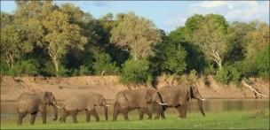 Watched eles crossing the Luangwa as he ate. Little ones submerged except for trunks!