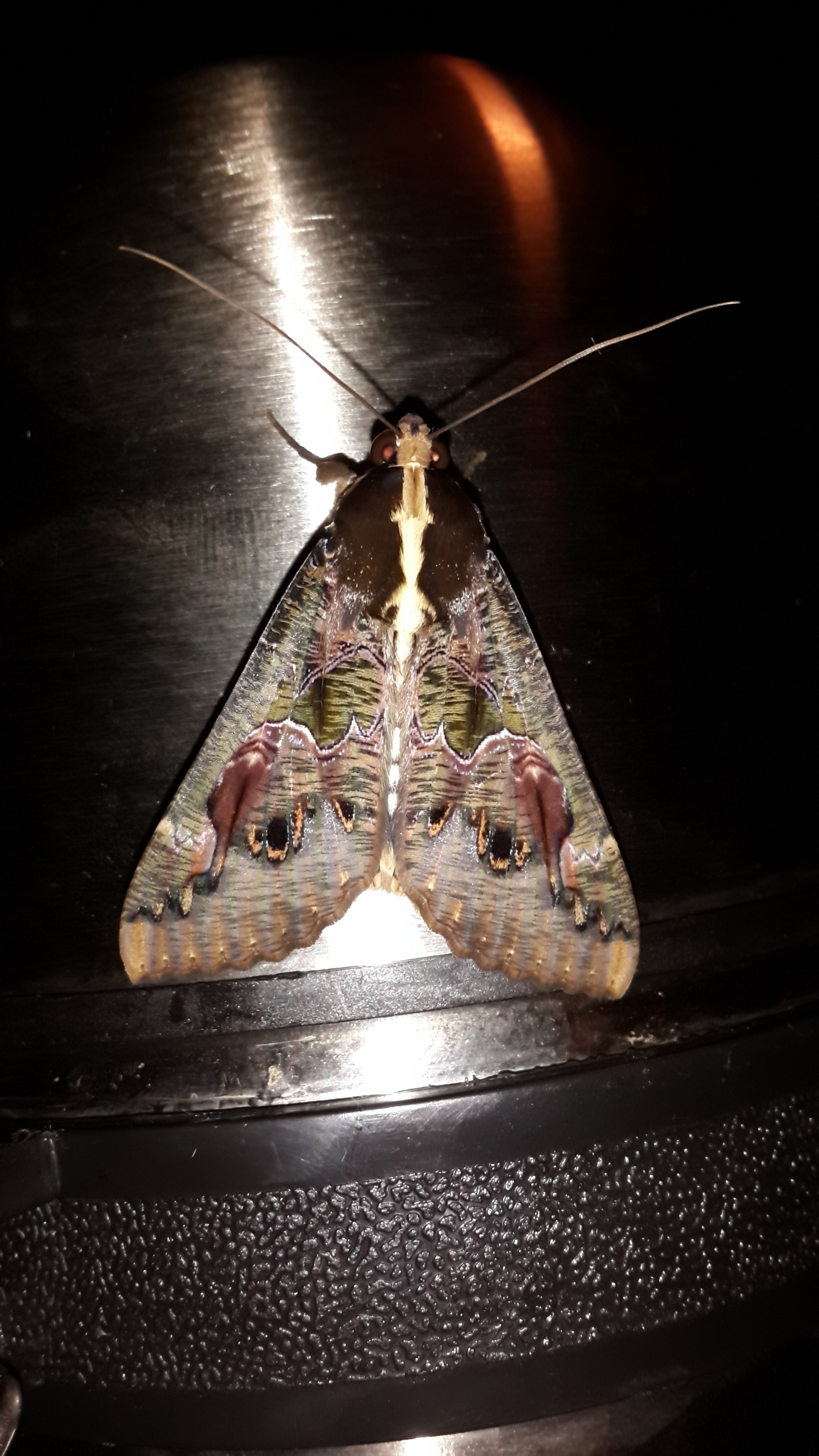 Mkhuze hawk moth Apr'14