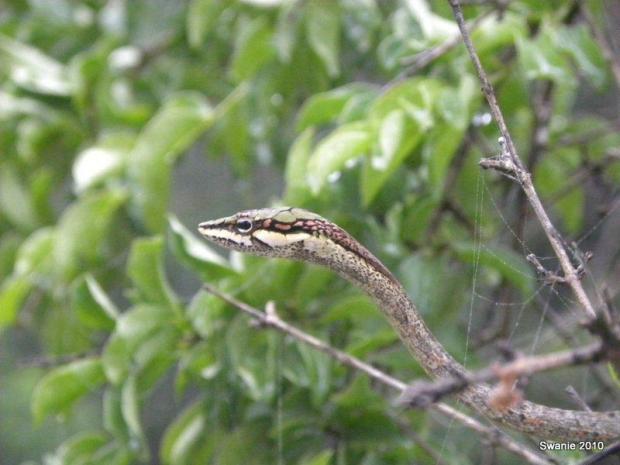 Vine Snake Thembe