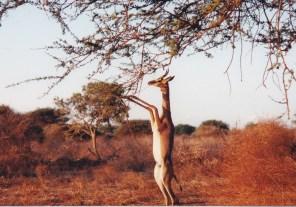 Kenya Tsavo gerenuk