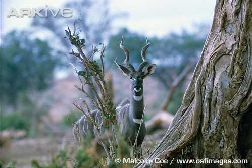 Lesser kudus & gerenuk - both firsts!