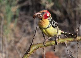 Red&Yellow barbet_2