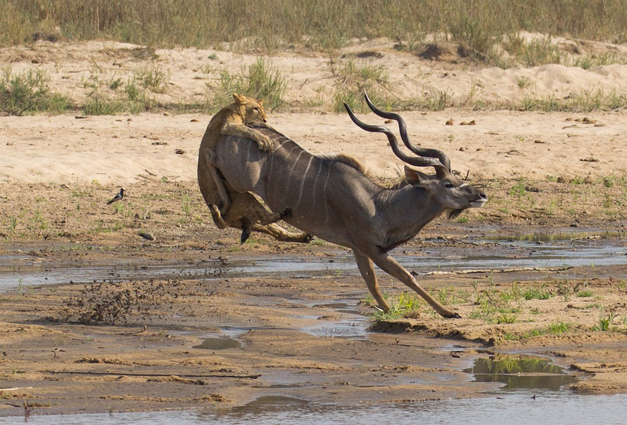 Young-lioness-launches-upon-the-kudus-rear-Gary-Hill