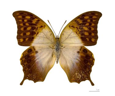 Butterfly Pearl Charaxes