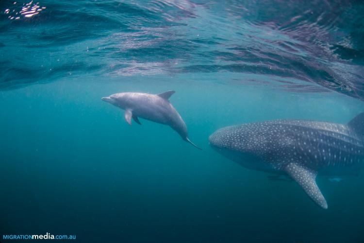 dolphin whale shark.jpg