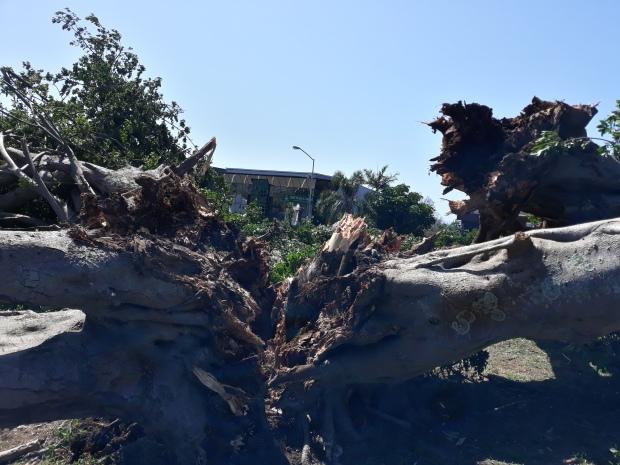 Fig Fallen (4)