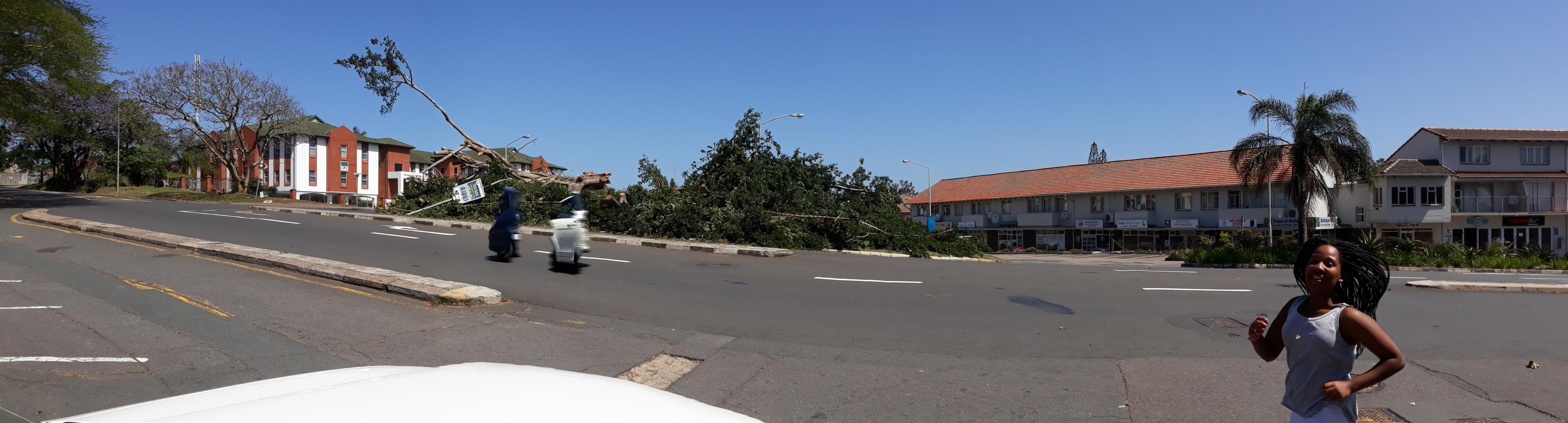 Fig tree fallen Sindi running