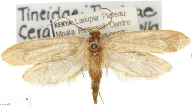 Moth-horn-borer