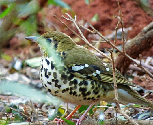 Thrush, Spotted Ground (Sheryl Halstead)