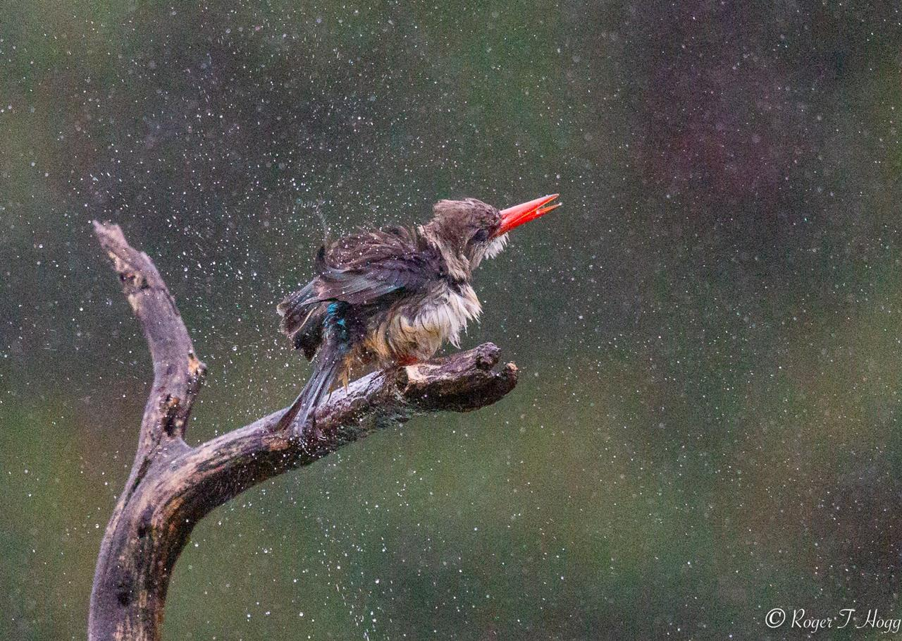 Roger in the rain